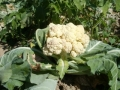 field-flower-food-produce-vegetable-agriculture-711029-pxhere.com