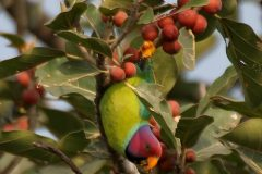 Plum-headed_Parakeet_Psittacula_cyanocephala_feeding_on_Ficus_benghalensis_W_IMG_4324