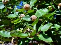 quince-1601087_640