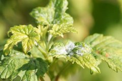 484px-Powdery_mildew_on_leaves_of_a_blackcurrant